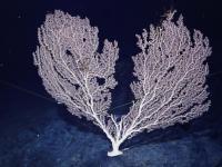 """""""科学""""号考察队在麦哲伦海山发现""""珊瑚林"""""""
